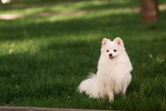 Cute white spitz dog outdoor. Cute white spitz dog on the green grass outdoor Royalty Free Stock Photo