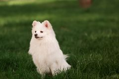Cute white spitz dog outdoor. Cute white spitz dog on the green grass outdoor Stock Photo