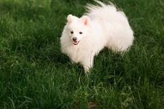Cute white spitz dog outdoor. Cute white spitz dog on the green grass outdoor Stock Image