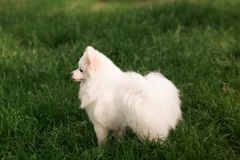 Cute white spitz dog outdoor. Cute white spitz dog on the green grass outdoor Royalty Free Stock Photos