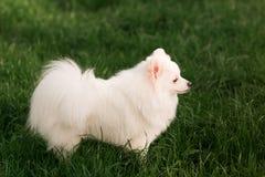 Cute white spitz dog outdoor. Cute white spitz dog on the green grass outdoor Stock Photos