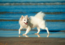 Cute white spitz running along the seashore Stock Photography