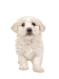 Cute white standing maltese puppy. Isolated on a white background Stock Photography