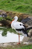 The cute white stork close up portrait Royalty Free Stock Photography