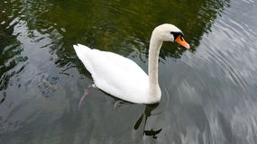Cute white swan Stock Photos