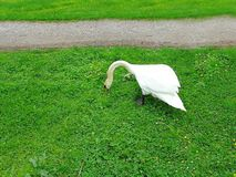 Cute white swan searching something in green grass. Swan isolated. Beautiful nature backgrounds royalty free stock photography
