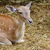 Cute white-tailed deer fawn Stock Photography