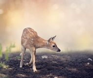 White-tailed deer fawn. Cute White-tailed deer fawn Stock Images