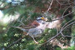 Cute White-throated Sparrow with twigs in its beak royalty free stock image