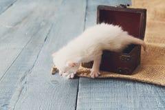 Cute white tiny Kitten in jewel box. Stock Photos