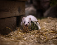 Cute white weasel at small home zoo Stock Images