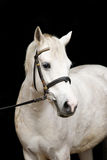 Cute white welsh pony portrait Stock Photos