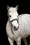 Cute white welsh pony portrait Royalty Free Stock Photo