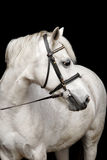 Cute white welsh pony portrait Royalty Free Stock Images