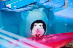 Cute white Winter White Dwarf Hamster begging for pet food with innocent face in house. Winter White Hamster is known as Winter Wh. Ite Dwarf, Djungarian or royalty free stock photo