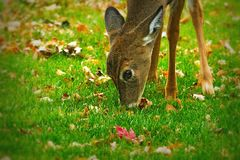 Whitetail deer odocoileus virginianus white-tailed fawn eating grass and leaves closeup. Cute whitetail deer odocoileus virginianus white-tailed fawn eating Royalty Free Stock Images