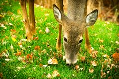Whitetail deer odocoileus virginianus white-tailed fawn eating grass and leaves closeup. Cute whitetail deer odocoileus virginianus white-tailed fawn eating Stock Photo