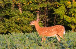 Whitetail Deer Fawn Standing In Bean Field. Cute whitetail deer fawn stands in a bean field during the early fall season Stock Photo