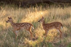 Cute Whitetail Deer Fawns. A pair of cute whitetail deer fawns in grass stock image