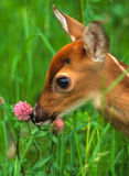 Cute Whitetail fawn. A cute whitetail fawn sniffs a clover blossom Stock Photography