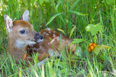 Cute whitetail fawn Royalty Free Stock Photos