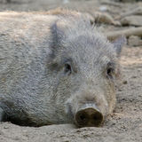 Cute Wild Boar in the mud Stock Photography