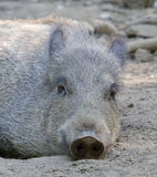 Cute Wild Boar in the mud Royalty Free Stock Photography