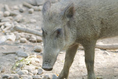 Cute Wild Boar in the mud Stock Image
