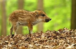 Cute wild boar Stock Image