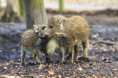 Cute wild boars Royalty Free Stock Photos