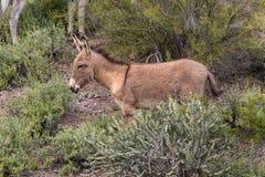 Cute Wild Burro. A cute wild burro in the Arizona desert in spring Royalty Free Stock Photo