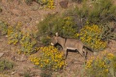 Cute Wild Burro in the Desert. A cute wild burro in the arizona desert in spring Stock Photos
