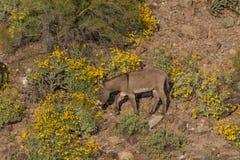 Wild Burro in the Desert. A cute wild burro in the arizona desert in spring Royalty Free Stock Photography