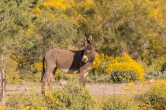 Wild Burro in the Desert in Spring Stock Photo