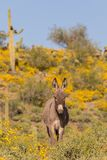 Cute Wild Burro in the Desert. A cute wild burro in the Arizona desert in spring Stock Images