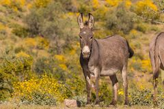 Free Cute Wild Burro In Spring Stock Images - 104944964