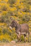 Cute Wild Burro in Spring in Arizona. A wild burro in the Arizona desert in spring Royalty Free Stock Image