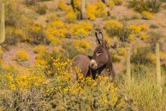 Cute Wild Burro in Wildflowers. A cute wild burro in the Arizona desert in spring Stock Photo