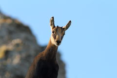 Cute wild chamois youngster looking at camera Stock Photos