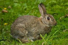 Cute Wild European Rabbit. A cute and furry wild European bunny rabbit Stock Photo