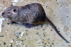 Cute wild furry Coypu Rat. Royalty Free Stock Images