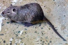 Cute wild furry Coypu Rat. Royalty Free Stock Images