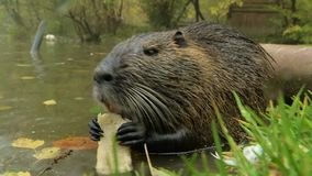 Cute wild furry coypus (river rat, nutria) eating