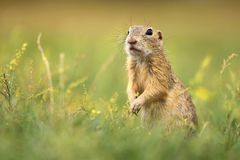 Ground squirrel in grass royalty free stock photography