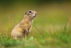 Cute hairy ground squirrel stock images