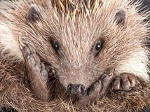 Cute wild hedgehog closeup portrait Stock Image