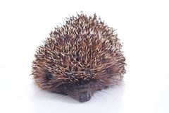 Cute wild hedgehog. Hedgehog closeup. hedgehog spike spikes quills as texture background. Hedgehog is any of the spiny Royalty Free Stock Image