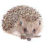 Cute wild hedgehog isolated on white Stock Photography