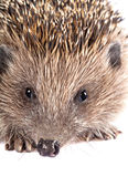 Cute wild hedgehog portrait on white Royalty Free Stock Image