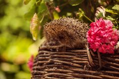 Cute wild hedgehog in summer nature background Royalty Free Stock Image